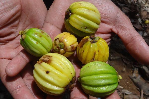 Diet Pills Fruta Garcinia Cambogia