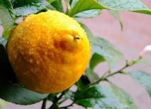 dieta del limón para adelgazar