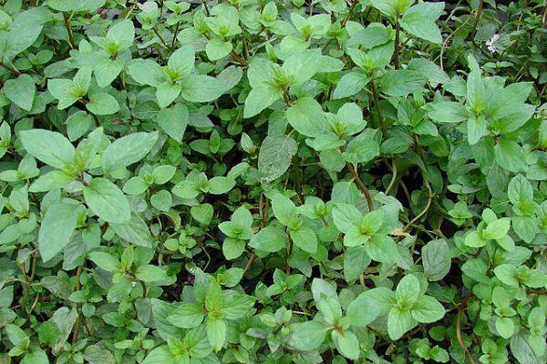 Agroa para qu sirve la hierbabuena for Planta decorativa con propiedades medicinales