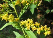 solidago o vara de oro planta medicinal propiedades