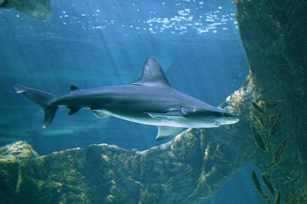 Cartílago de tiburón propiedades
