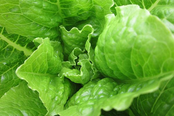 lechugas ensalada hojas verdes