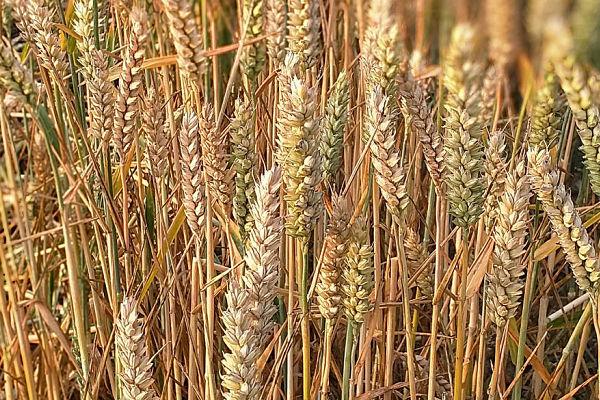 alergia al trigo