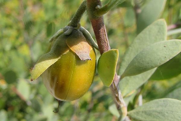 para qué sirve el aceite de jojoba