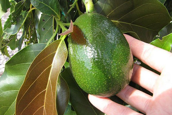 aguacate colesterol