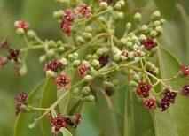sándalo planta medicinal propiedades